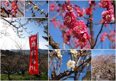 下のほうは七分咲きかなーの、強風と眺めのイイみなべ梅林@とてもいい運動になりますよー