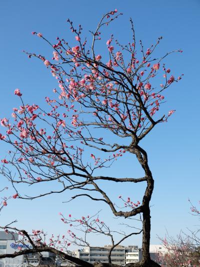 「 百花の魁 ---梅の花が咲き始めた  池上梅園 」 2014