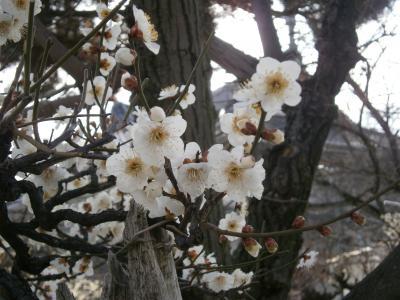 大阪・羽曳野の誉田八幡宮(こんだはちまんぐう)と道明寺天満宮の梅