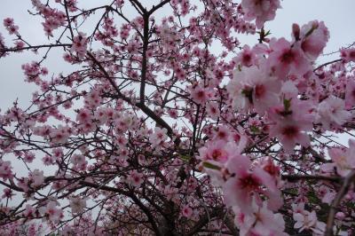 大阪の桜→韓国 <大阪編>