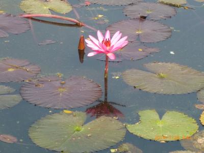 花祭り・スコータイ遺跡を見たい。(3)