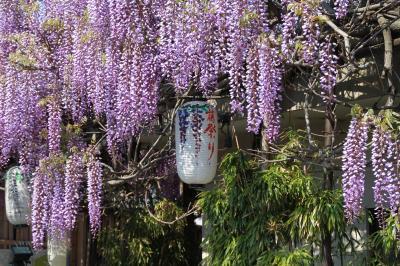 大阪 泉南市 梶本さんの藤を訪ねて