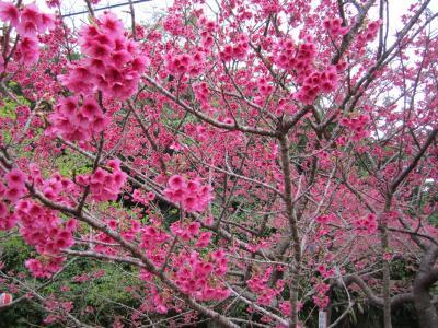 八重岳の八重桜