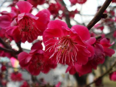 さいたま市 大宮第二公園梅まつり