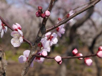 花と緑の振興センター(川口安行)の梅林☆2014/03/16