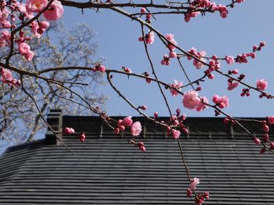 興禅院(川口安行)の梅☆2014/03/16