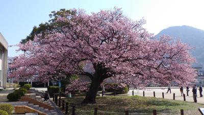 向島小学校(山口県防府市)の寒桜を見に
