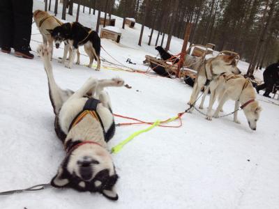2度目のフィンランド 9日間のんびり旅 ~4日目 サーリセルカで犬ぞり~