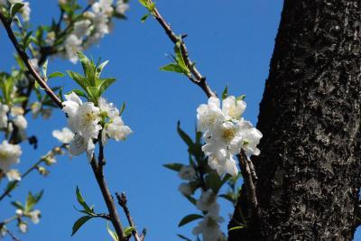 二ヶ領用水(川崎市中原)の花桃散策