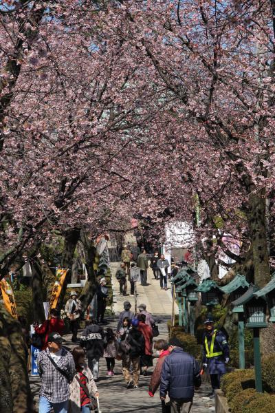 201403-01_川口の蜜蔵院の安行桜はまだ5分咲きです。Cherryblossoms in Kawaguchi / Saitama
