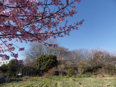 桜が咲いた!ご近所で楽しむ里の春!さいたま市見沼区