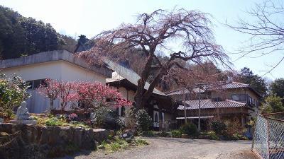 大仁温泉・・・龍源院の枝垂れ桜は開花したてでした。