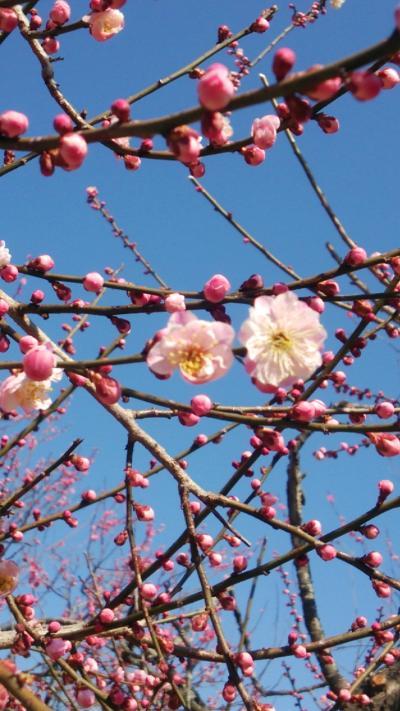 偕楽園 梅祭り