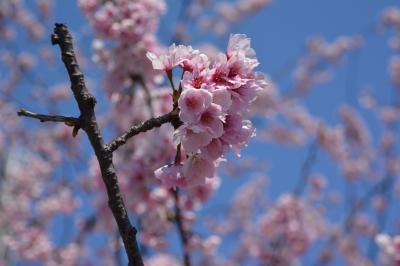 上野公園、隅田公園の大寒桜