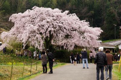 今年もやっぱり枝垂れ桜♪