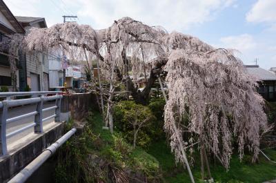 2014 若樫の百滝桜