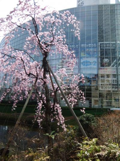 六本木(毛利庭園)・恵比寿しだれ桜・目黒川川面の桜・元住吉の桜