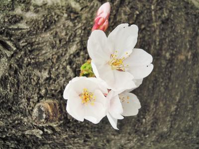 雨の中のお花見って結構面白かった(^v^)!?本日ほとんど生中継(笑)