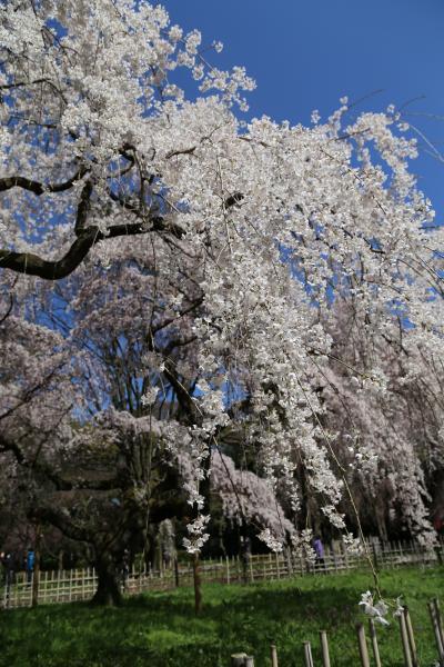 京都の桜 2014 ~京都御苑~