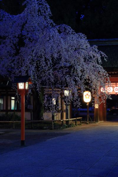 京都 早咲きの桜めぐり~立本寺、千本釈迦堂、上品蓮台寺、平野神社