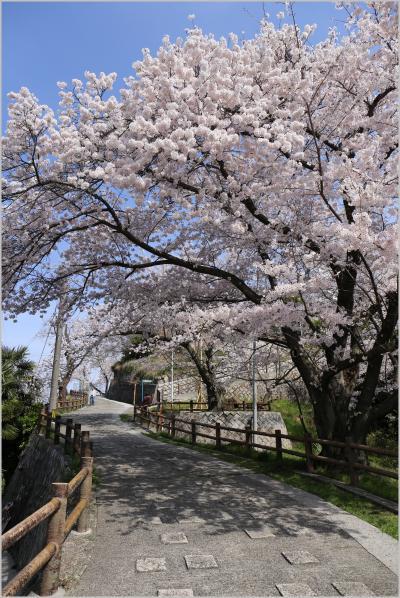 Solitary Journey [1359] 出勤前の一撮~咲き満ちて こぼるる花も なかりけり~<広島市内を一望、黄金山の桜が満開!>広島市南区