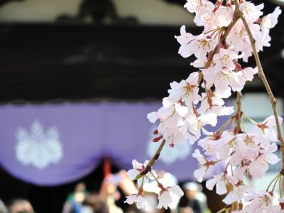 レジェンドの風格・・・醍醐の桜