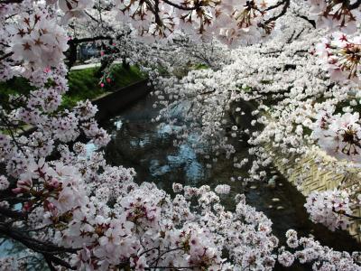 日本のさくら名所百選 満開の五条川♪