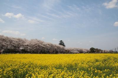 桜の花が散る前に… 2014年  #1 幸手権現堂桜堤の桜と菜の花