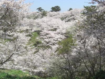 2014年 山陽小野田市 竜王山の桜を見に行きました。