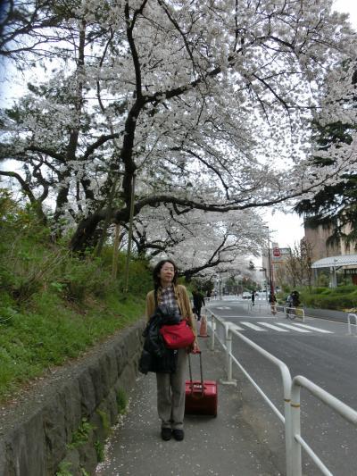 JR四ツ谷駅からニューオータニへ~ソフィア通りは桜道