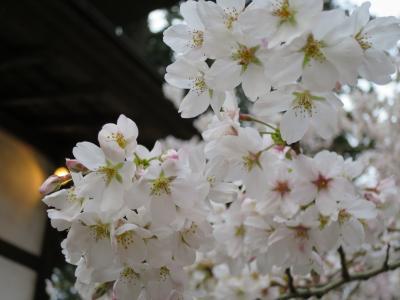 六地蔵寺の桜①