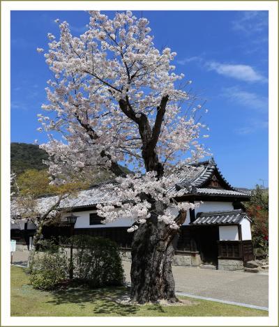 Solitary Journey[1361]錦川沿いに咲く春の花たち、仙台枝垂桜も満開!綺麗でした~♪<吉香公園エリアを歩く編>山口県岩国市