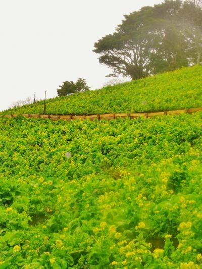 マザー牧場a 菜の花畑 一面に咲きはじめ ☆山の雪で開花が遅れ