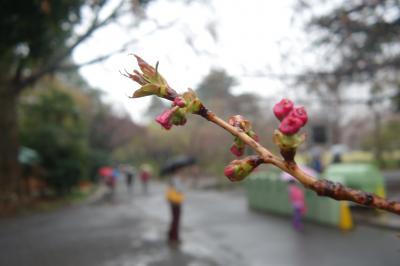 御苑の桜。花散らしの雨><