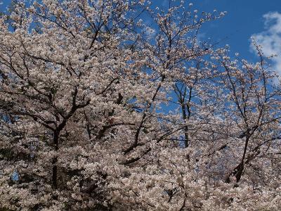 広島桜旅No.1 ピンクに染まった縮景園とお好み焼きを楽しもう!