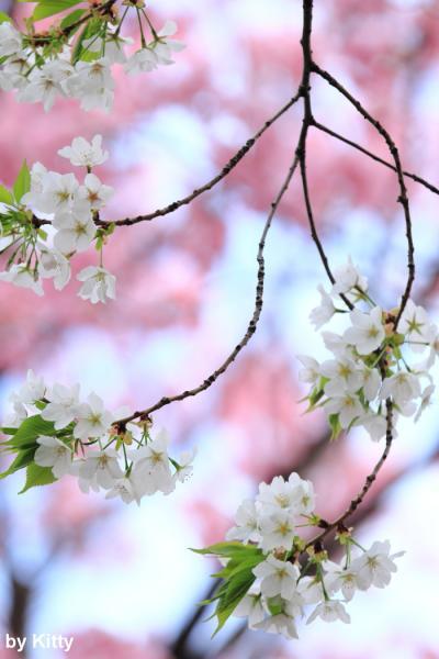♪春うらら♪ 新宿御苑の桜たち