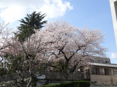 少しでもカメラに慣れなければと昼休みに神宮球場近辺で桜探し