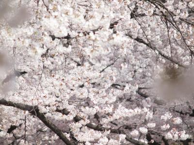 五条川の桜は満開でした。No1