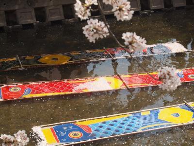 五条川の桜は満開でした。No2