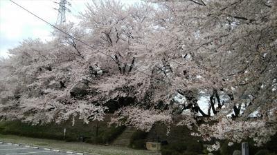 愛知県西尾市吉良の黄金堤の桜