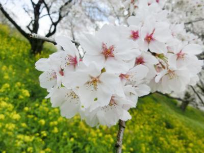 さくら 北本 菜の花祭り