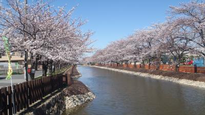 おせんべいの街 草加の桜