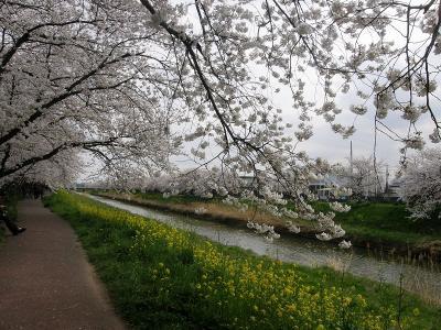 歩こう会で権現堂堤へ往復ウォーク・・・②久喜市青葉・青毛堀川両岸の桜