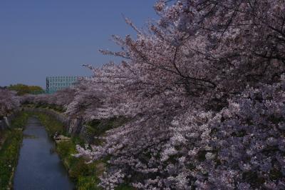 名古屋 山崎川の桜