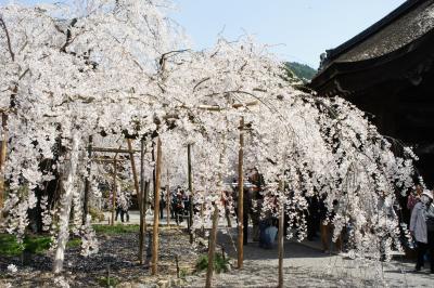 毘沙門堂とマキノの清水の桜と海津桜