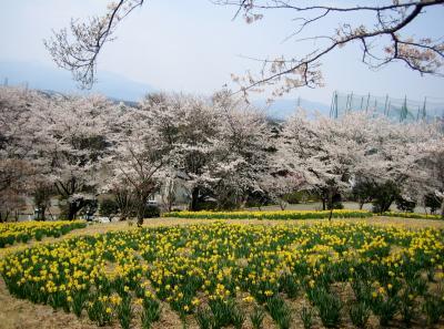 遅かった桜の季節が駆け足で訪ねて来ました。旧黒磯編です。