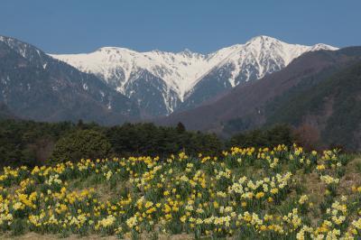 2014 春が来た!南信州光前寺「すいせんの花越しに宝剣岳を望んで・・・」