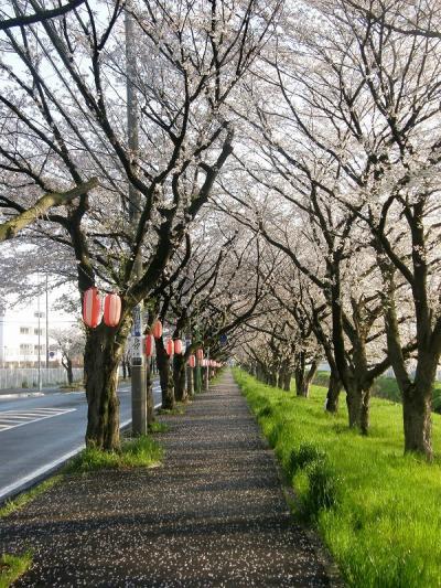 早朝ウォーキングで桜を愛でながら市内各地を巡る・・・⑤緑風館・清久桜通り・理科大の桜