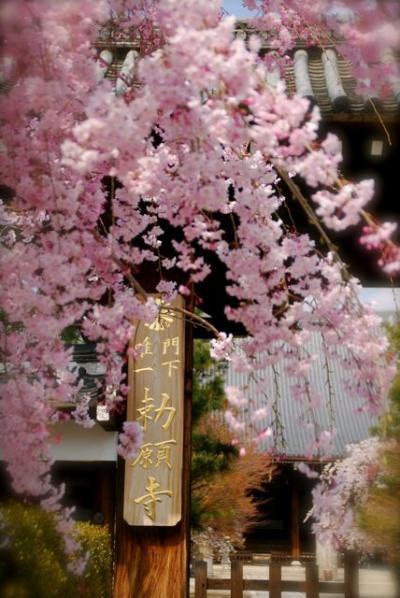 ひとりお花見部 2014① 花まつりは京都でお花見 ー本願寺~妙顕寺篇