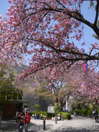八重桜の飛鳥山から旧古河庭園までを散策